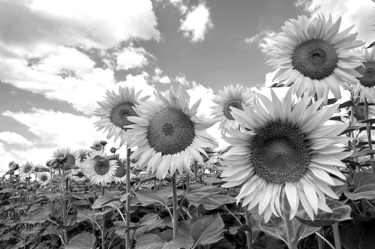 Sonnenblumen Schwarz & Weiß