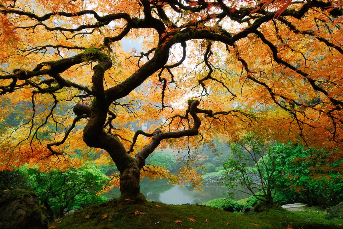 Herbst Ahornbaum