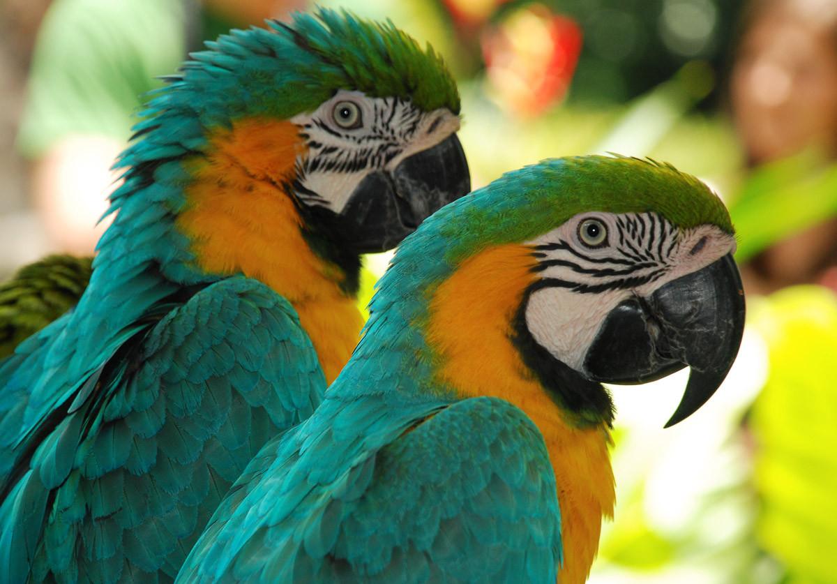 Ara Liebesvögel