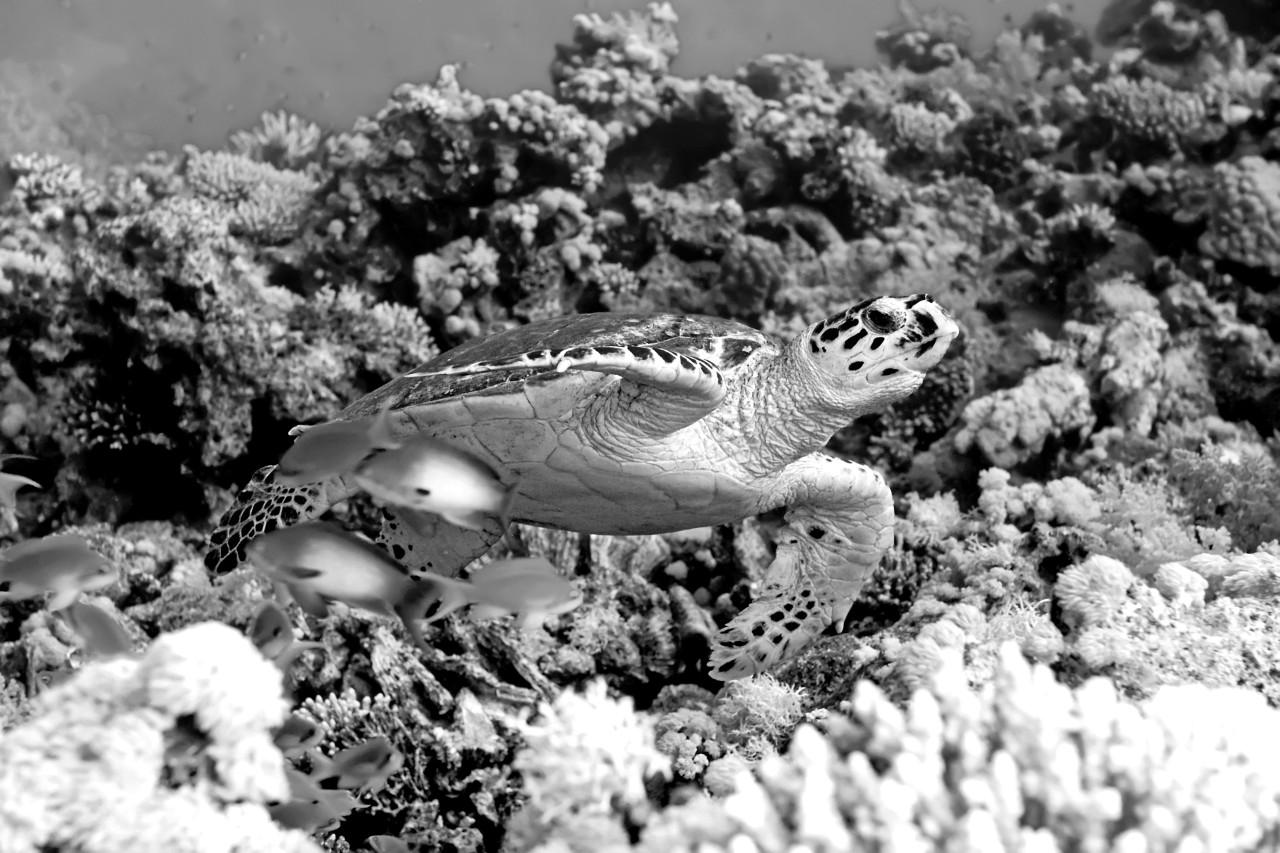 Schildkröte Schwarz & Weiß