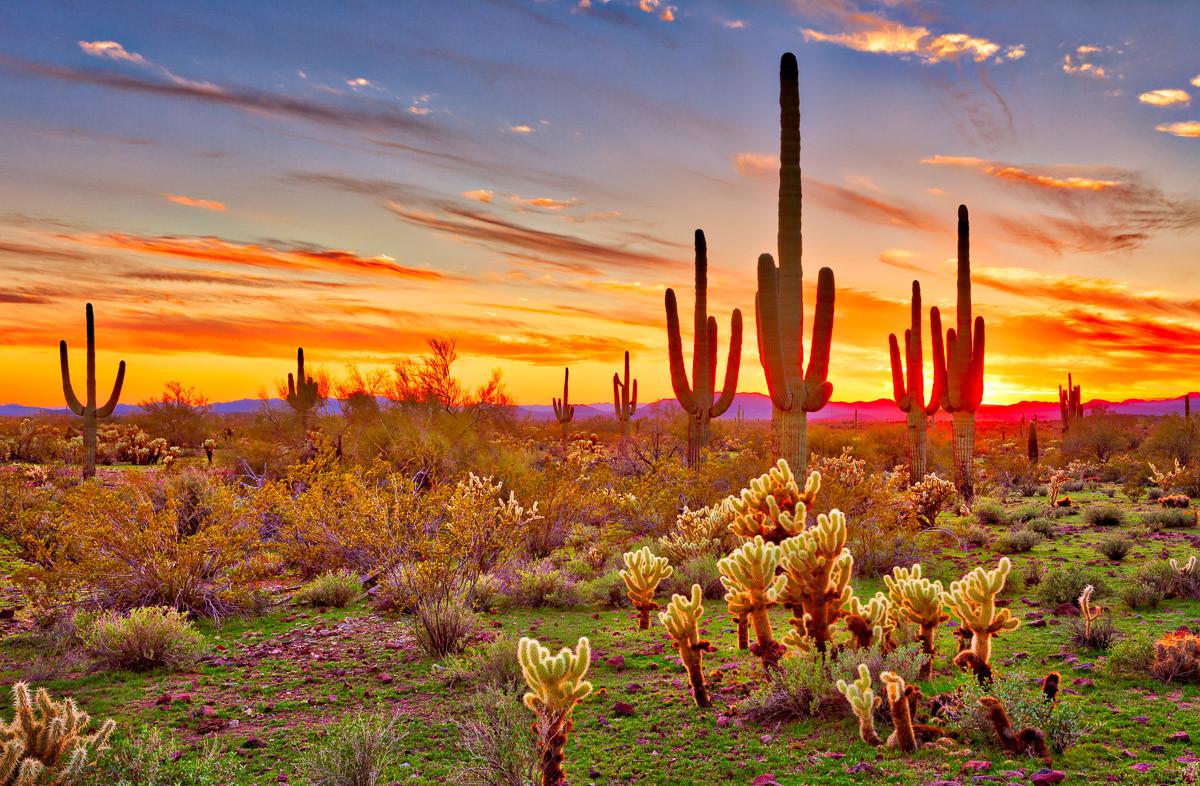 Saguaros Sunset Phoenix