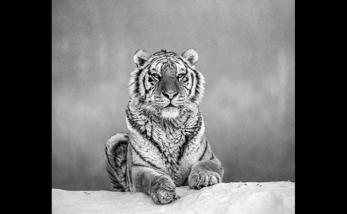 Tiger Portrait Schwarz & Weiß