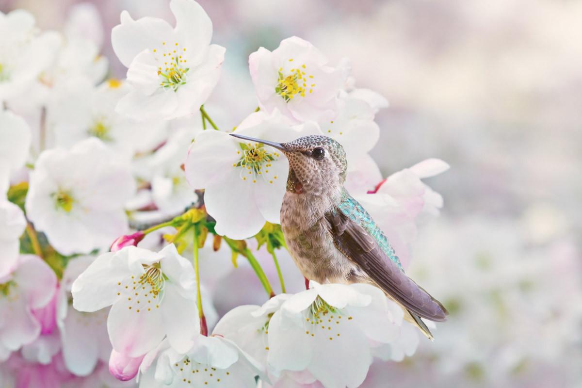 Cherra-Blüten