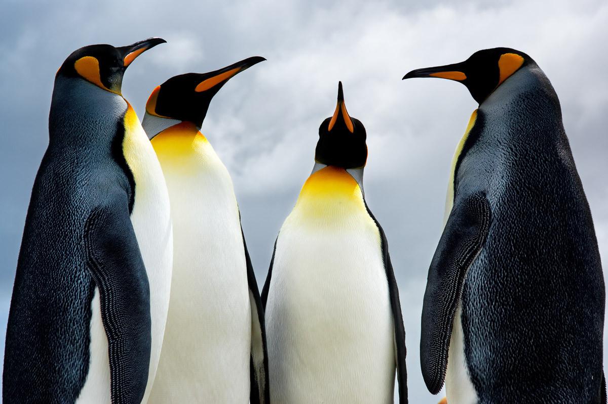 König Pinguins