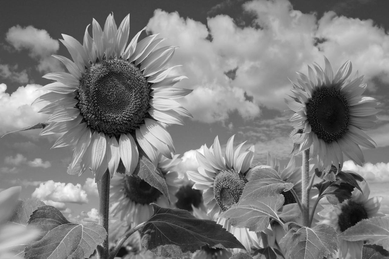 Sonnenblume Schwarz & Weiß