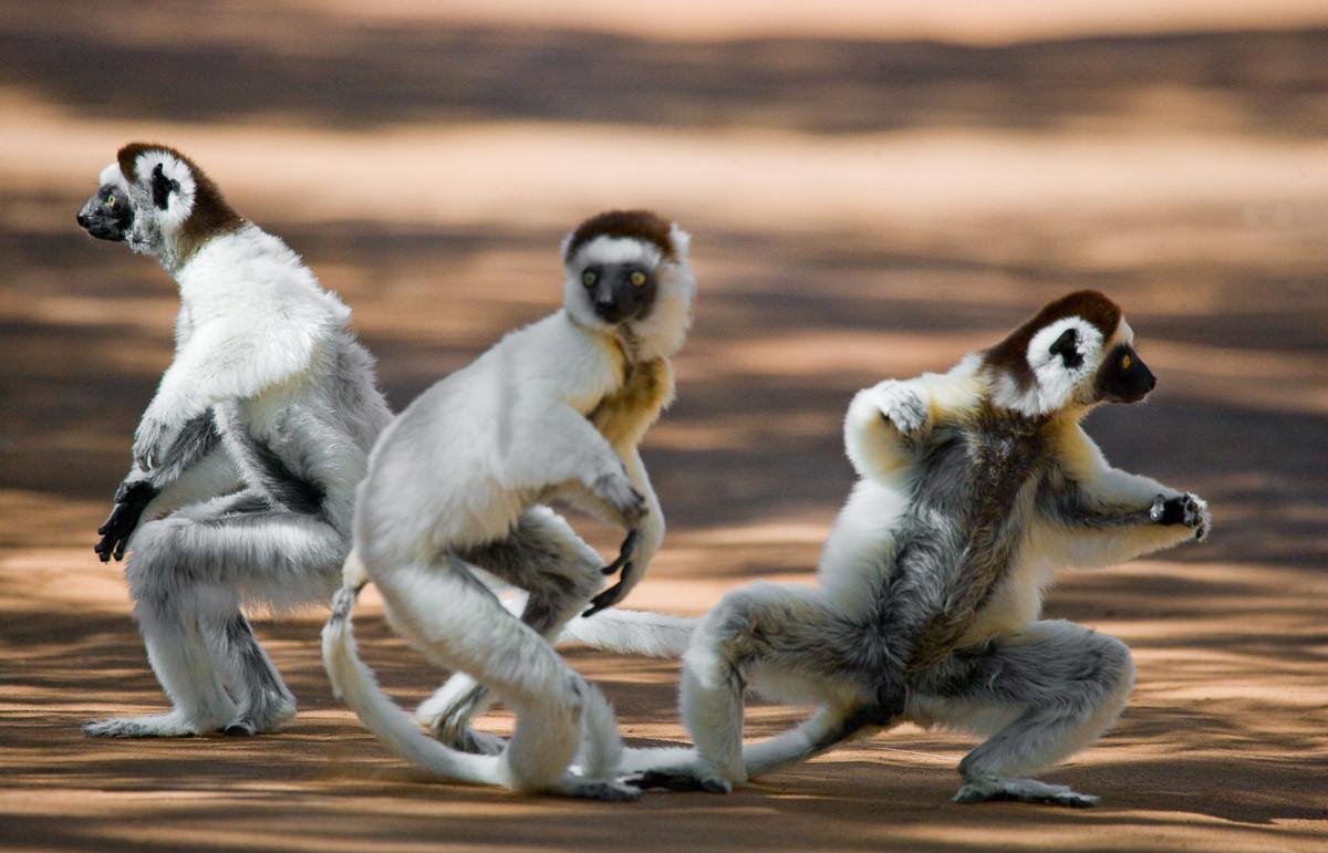 Tanzende Sifakas