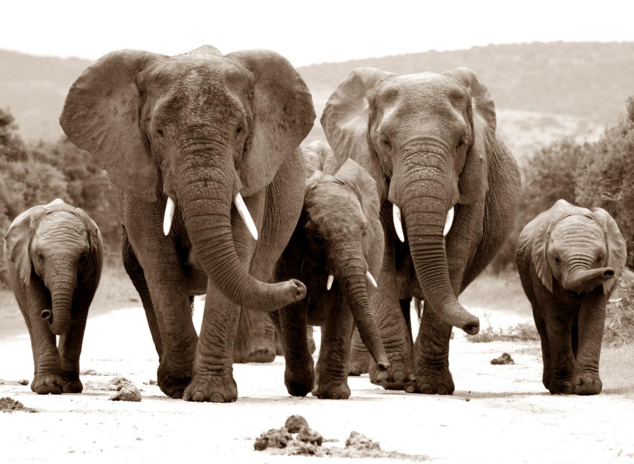 Elefanten Sepia