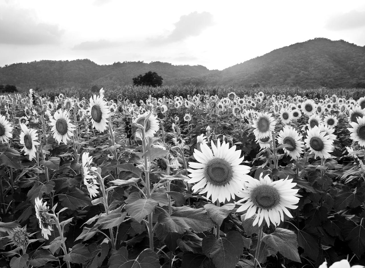 Sonnenblumenfeld Schwarz & Weiß