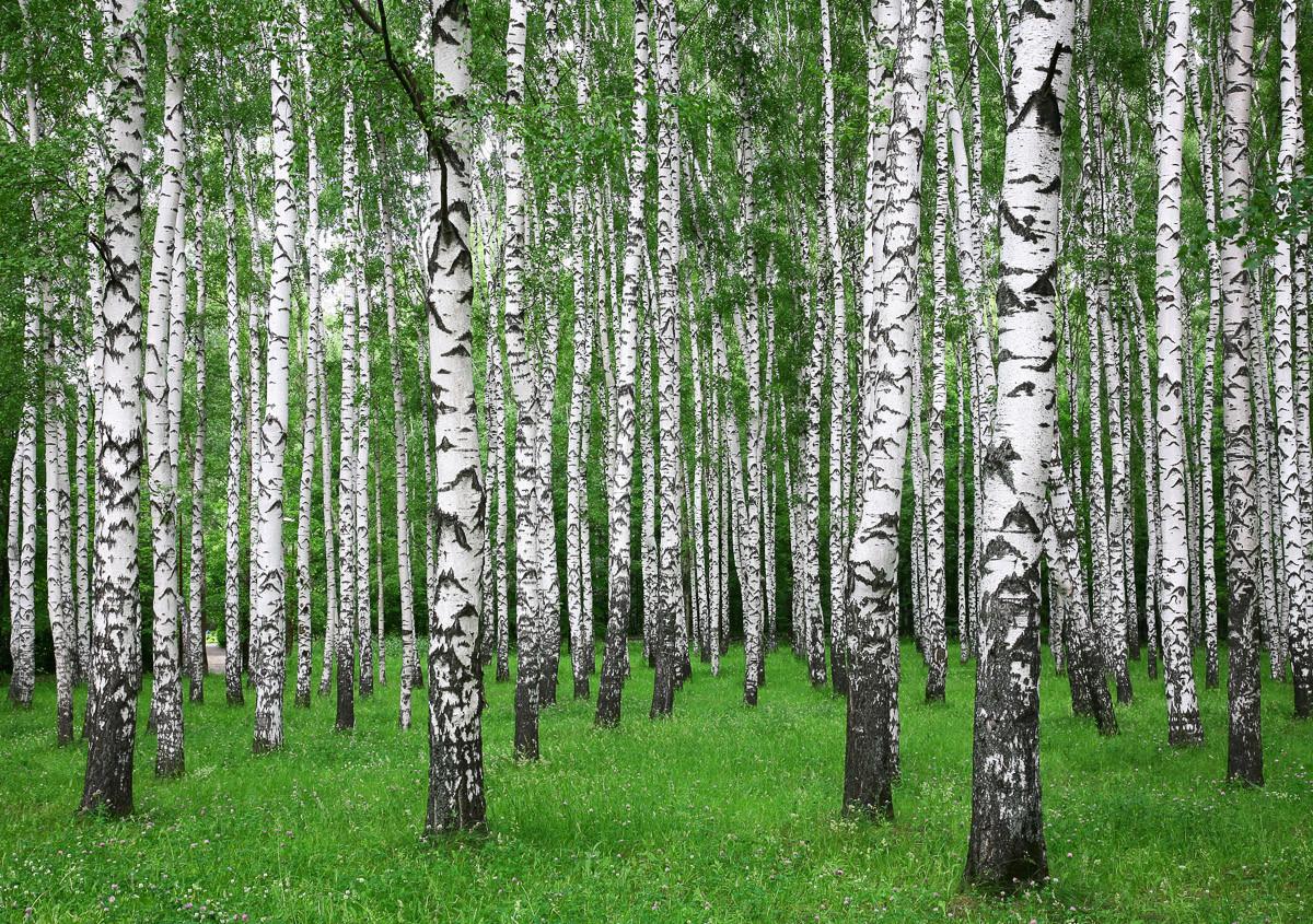 Sommer Birkenwald