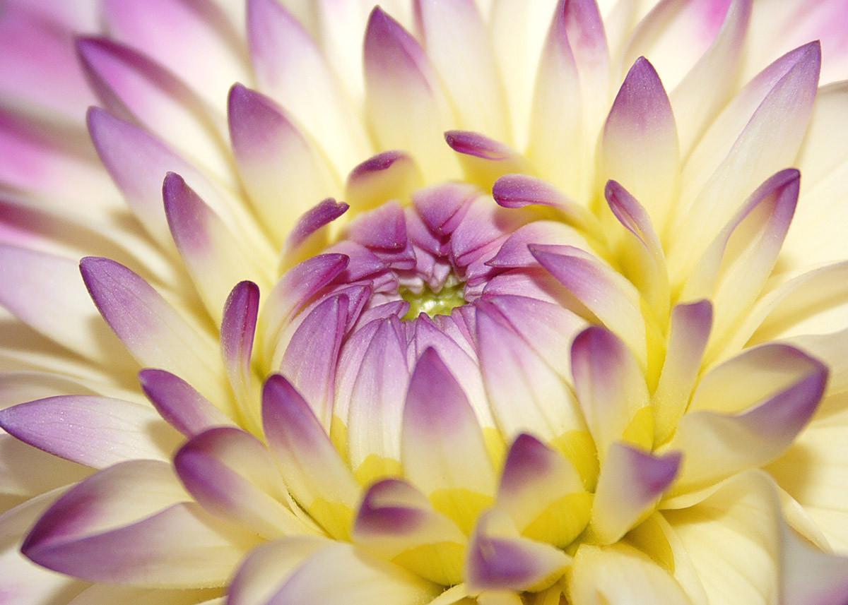 Makro-rosa Blume