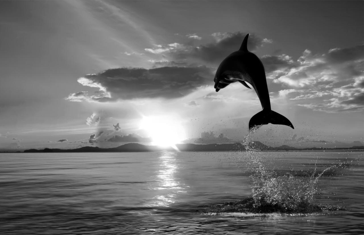 Delfin Schwarz & Weiß