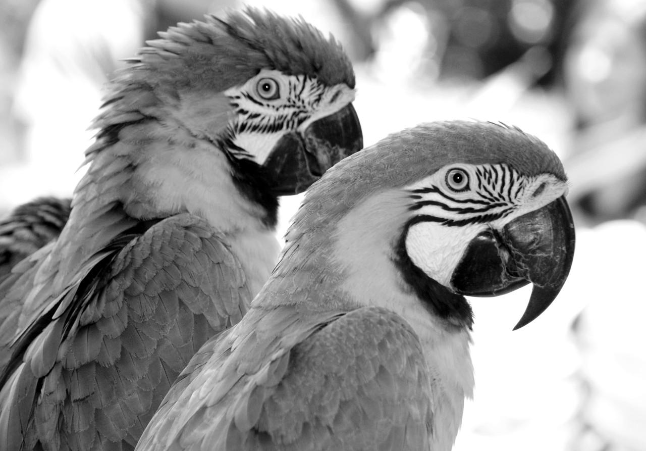 Papagei Schwarz & Weiß