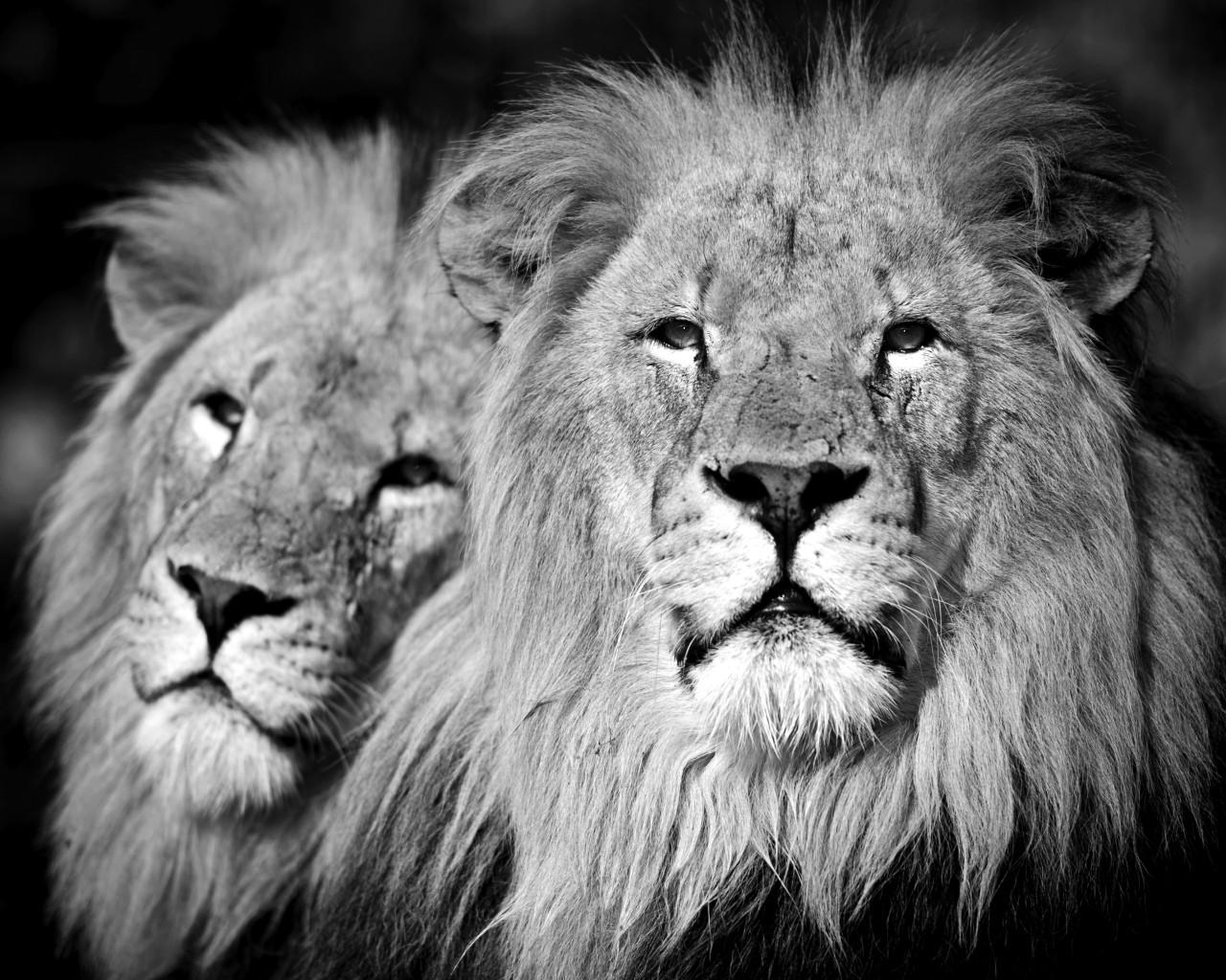 Löwen Schwarz & Weiß