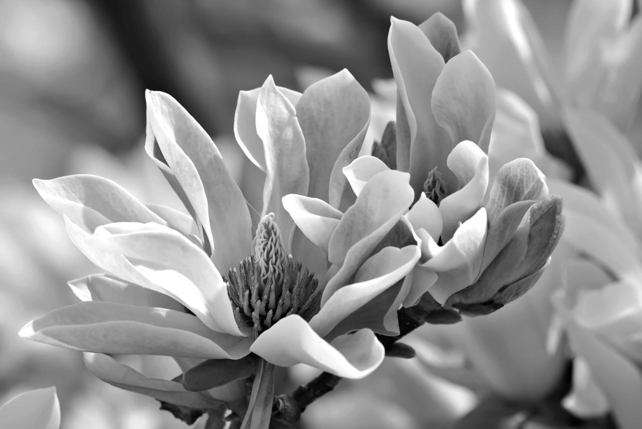 Blume Schwarz & Weiß