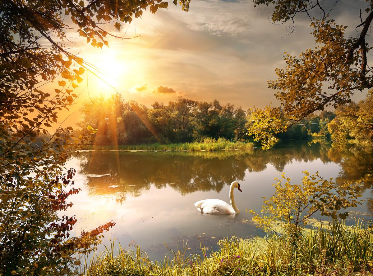Schwan am Teich