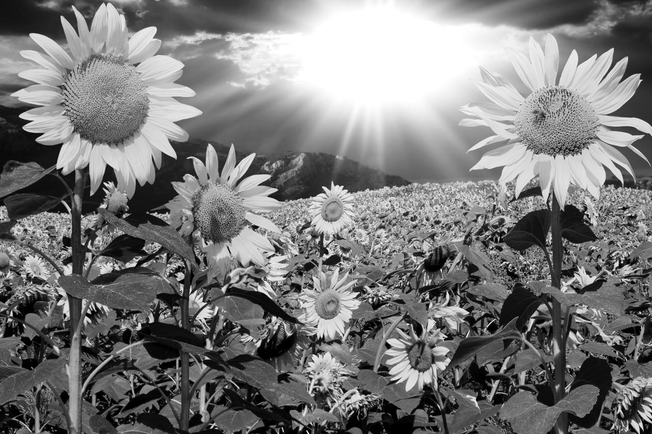 Pusteblume Schwarz & Weiß