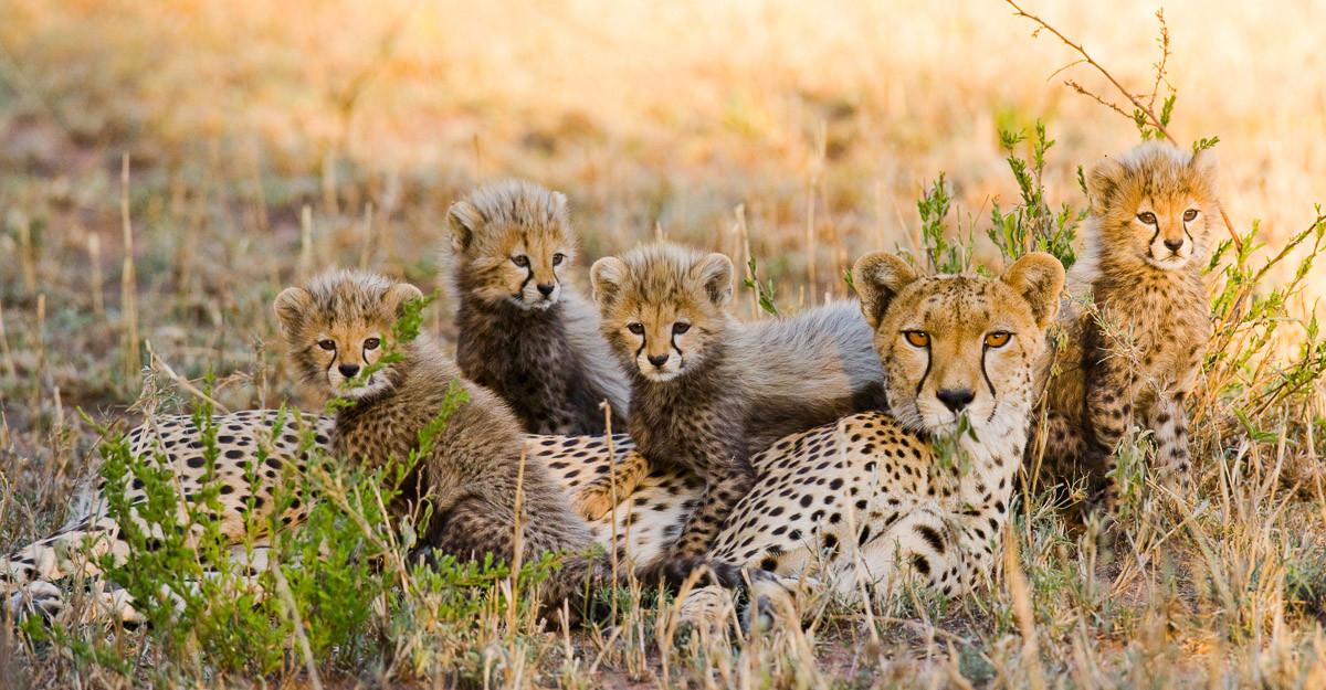 Gepard und Jungen
