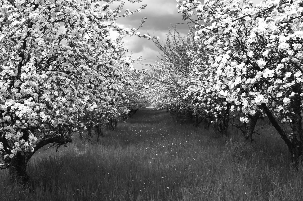 Baumplantage Schwarz & Weiß
