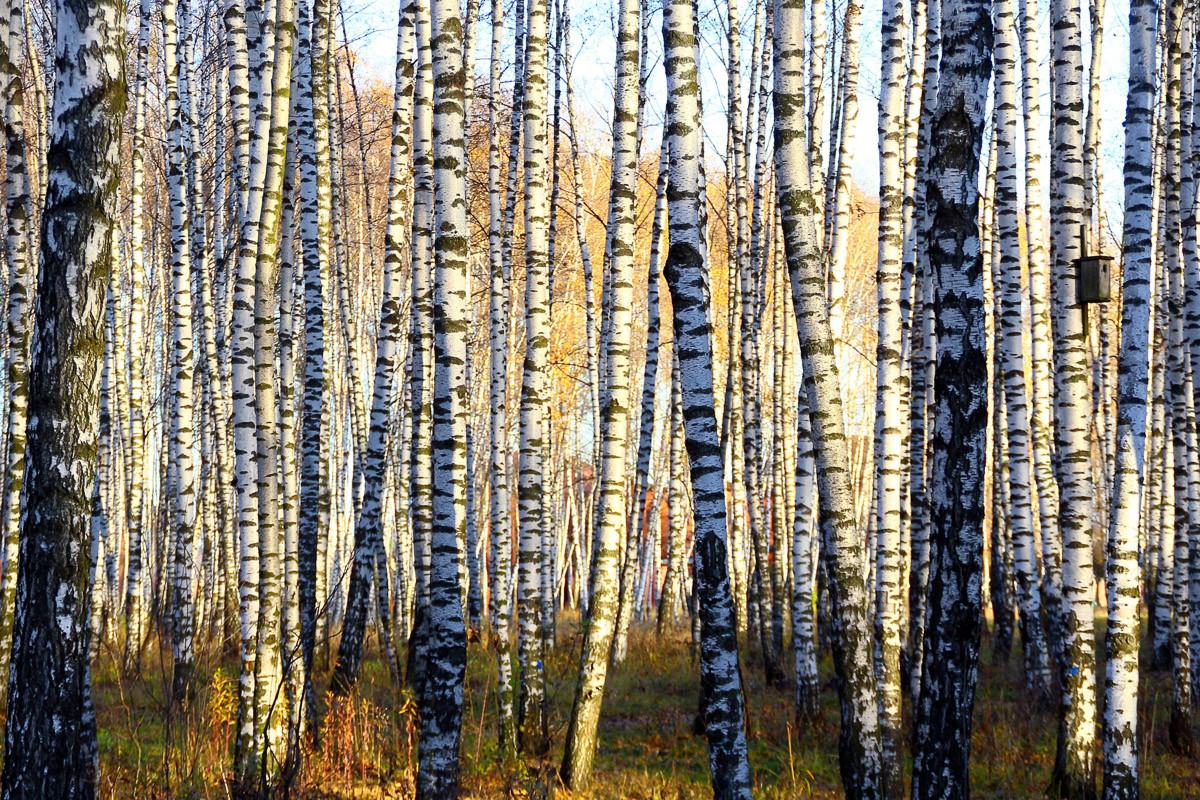 Parallelen eines Birkenhains