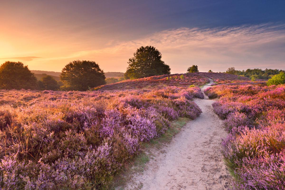 Blühende Heide bei Sonnenaufgang