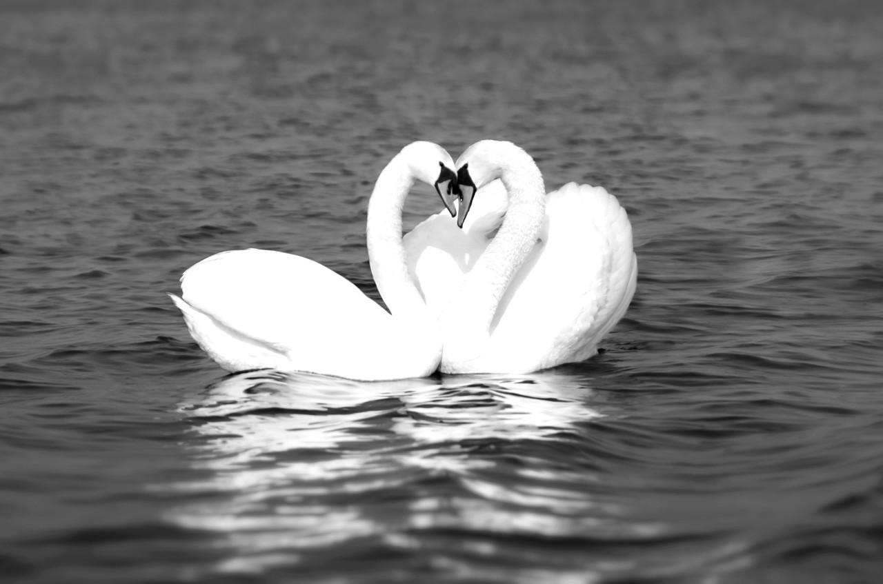 Schwäne Schwarz & Weiß