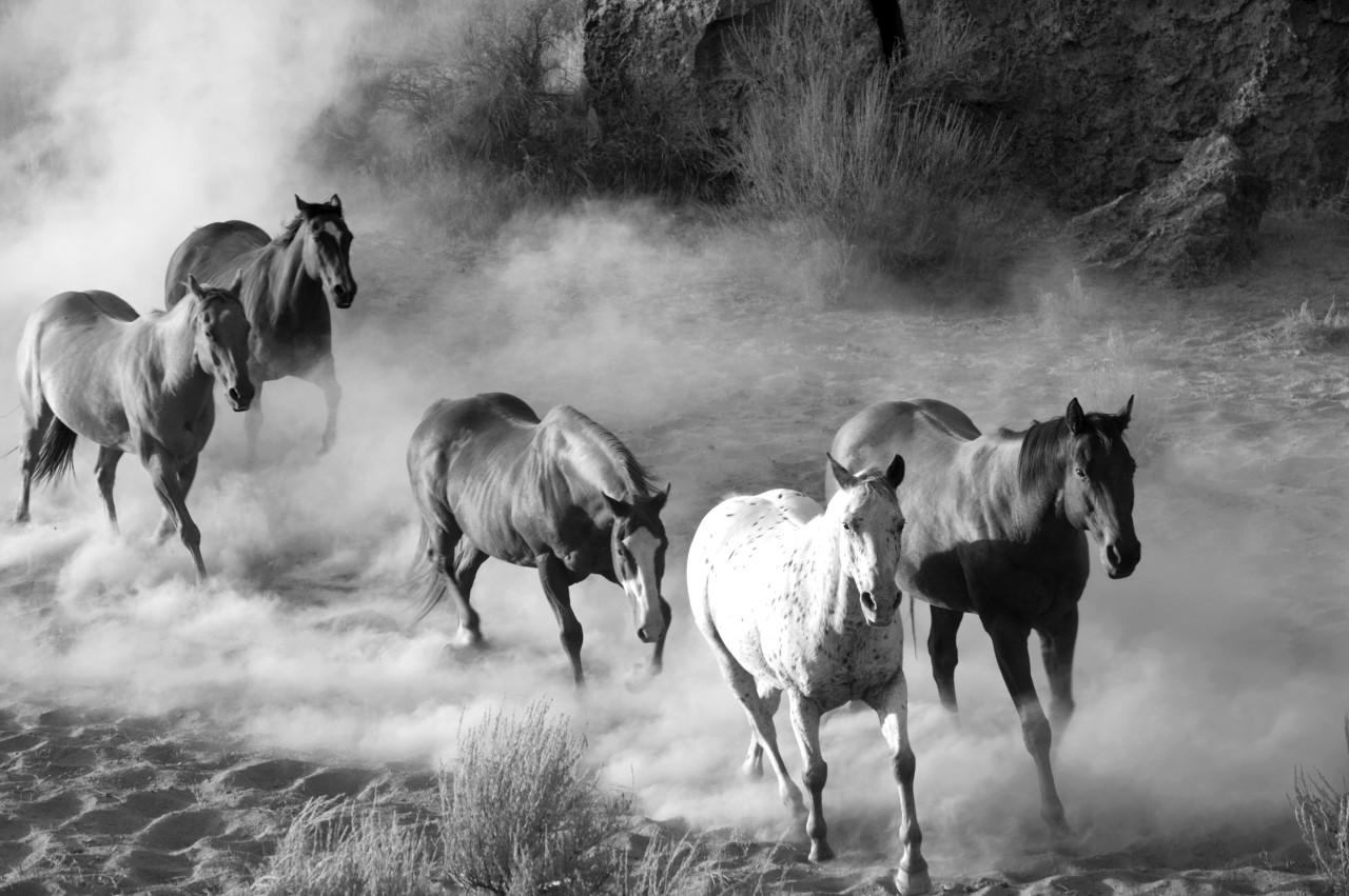 Pferde Schwarz & Weiß