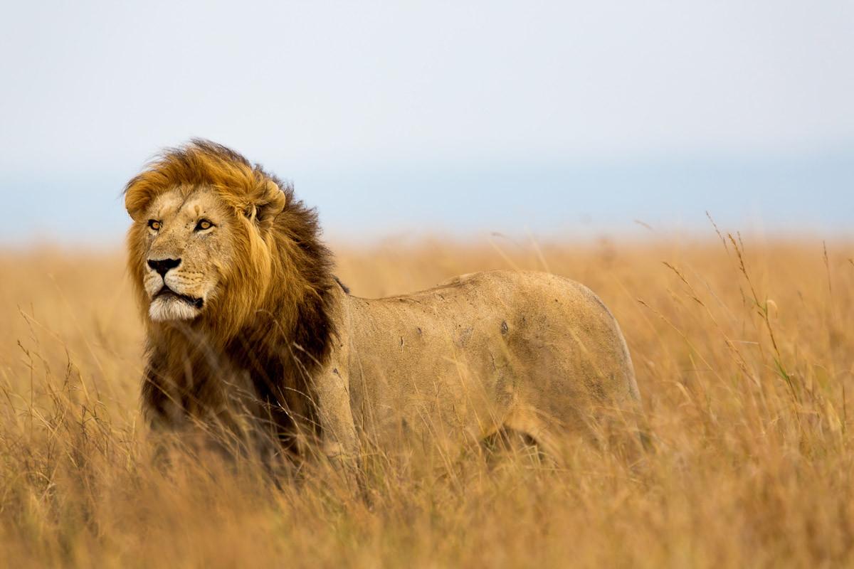 Löwe in Masai Mara Kenia