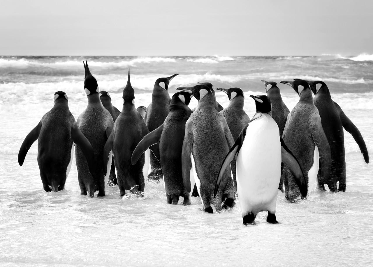 Pinguin Schwarz & Weiß