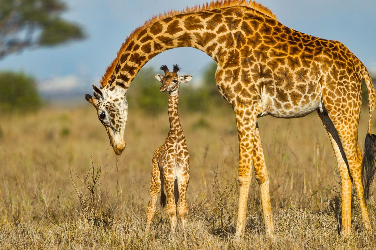 Massai Giraffe, die Baby schützt