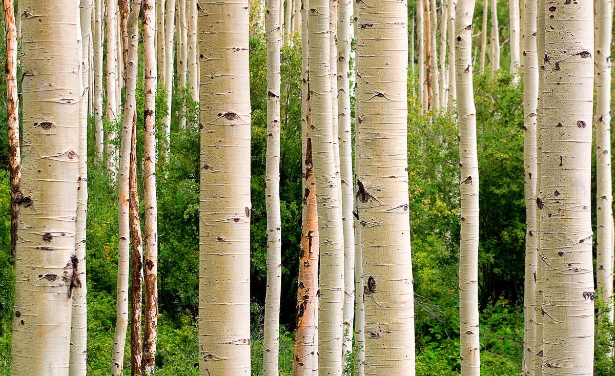 Aspen Woods im Sommer