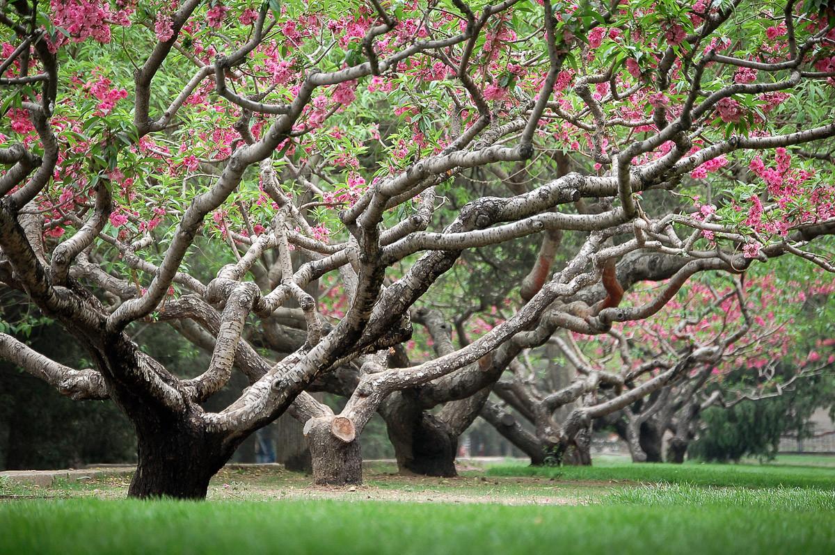 Frühlingspfirsichbäume