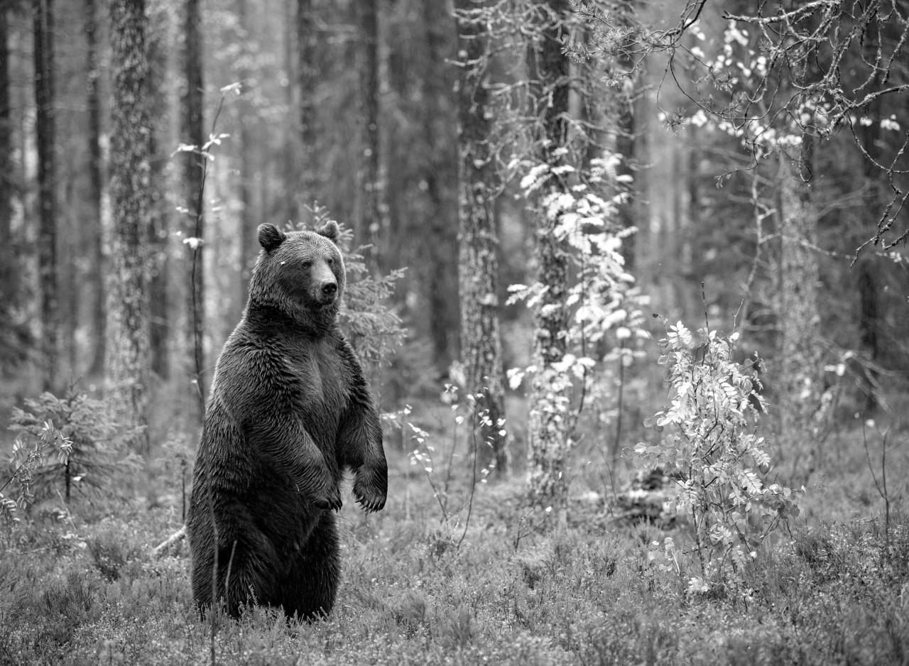 Bär im Wald Schwarz & Weiß
