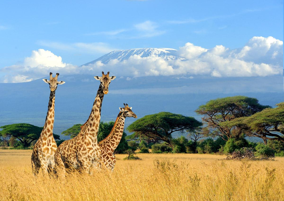 Giraffen am Kilimandscharo