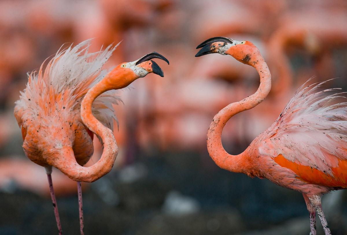 Karibische Flamingos