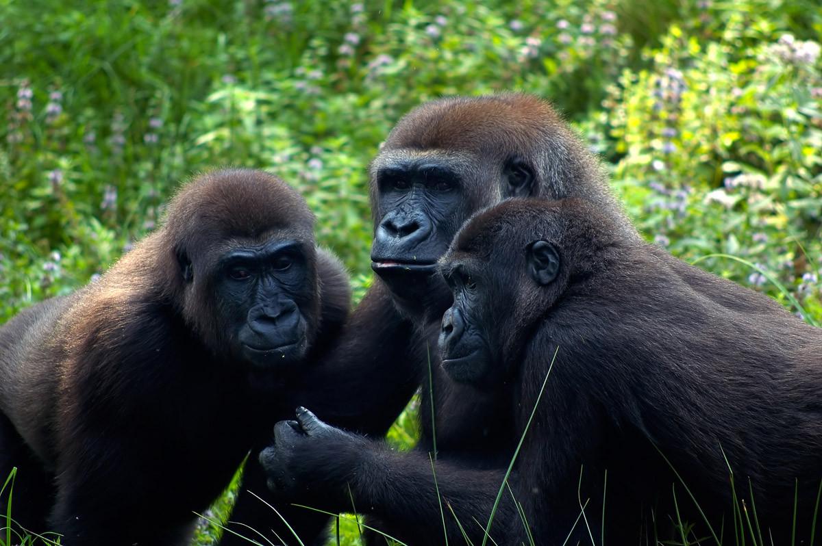 Gorilla-Treffen