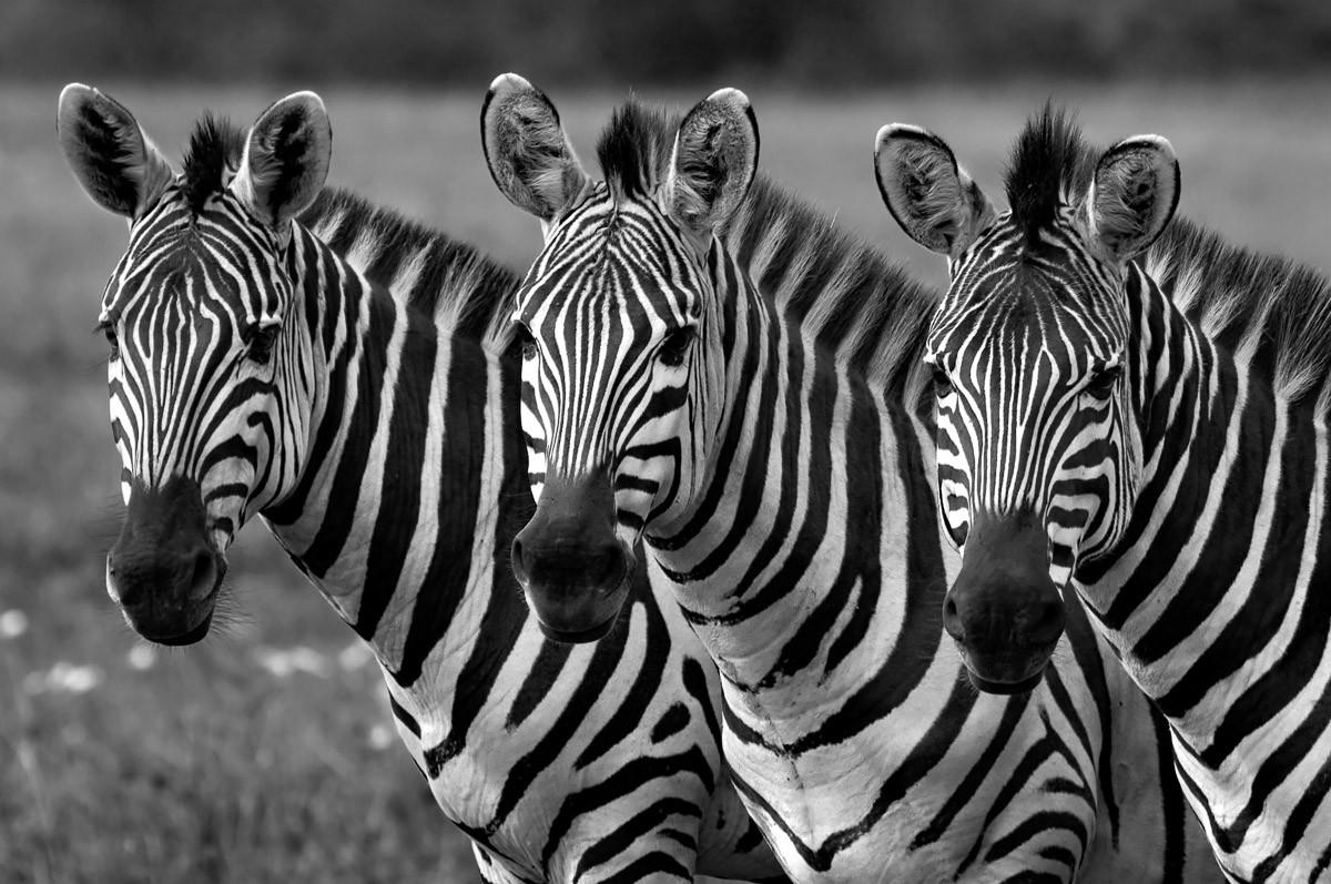 Zebras Schwarz & Weiß