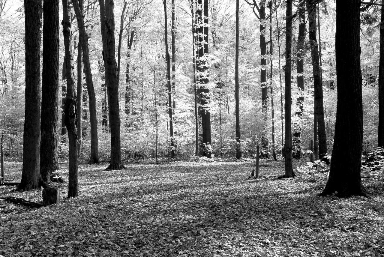 Wald Schwarz & Weiß