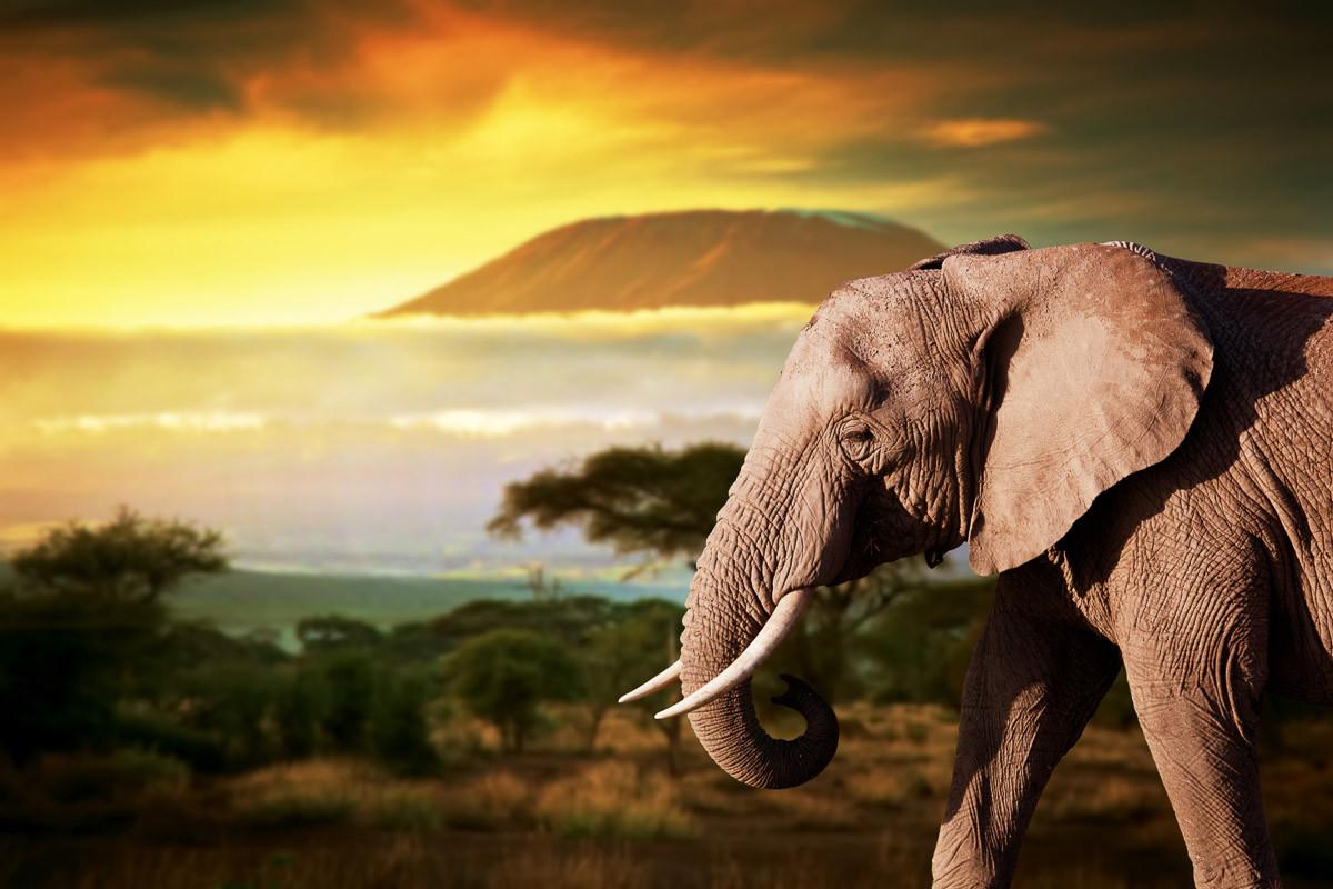 Elefant von Kilimanjaro