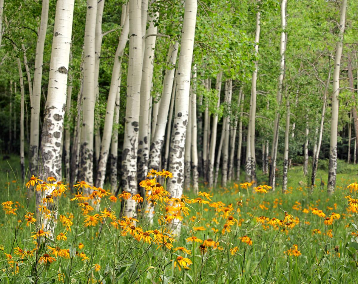 Aspen Grove und Orange Wildflowers