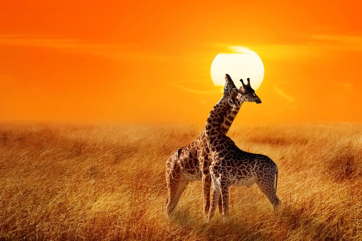 Giraffen gegen Sonnenuntergang