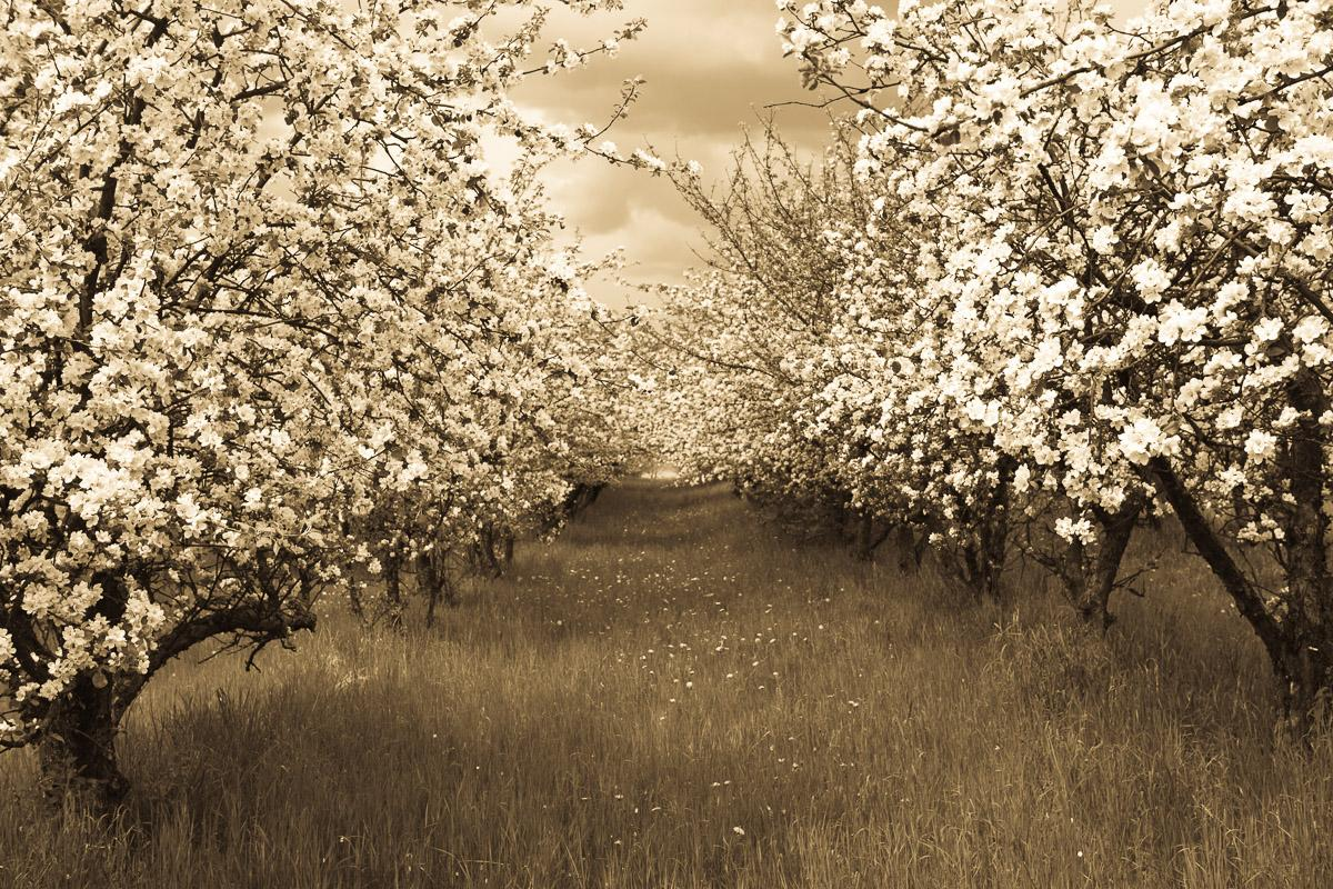Sepia Frühlingsobstgarten