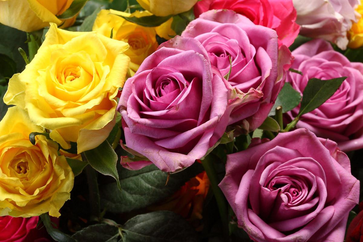 Weiße und lila Rosen