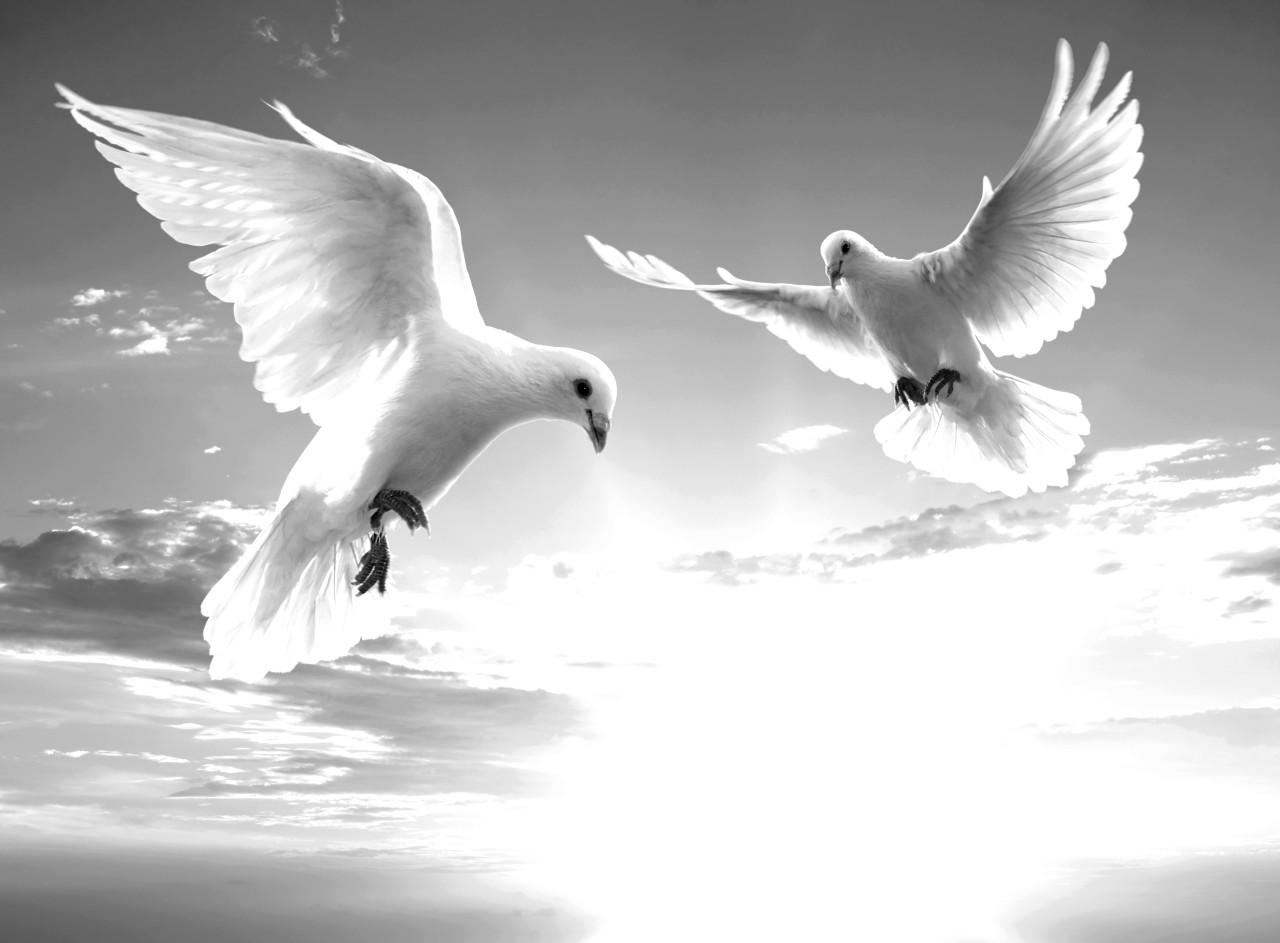 Tauben Schwarz & Weiß