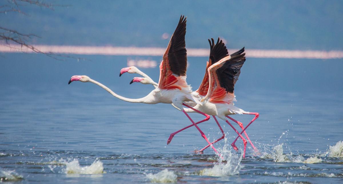 Flamingos heben ab