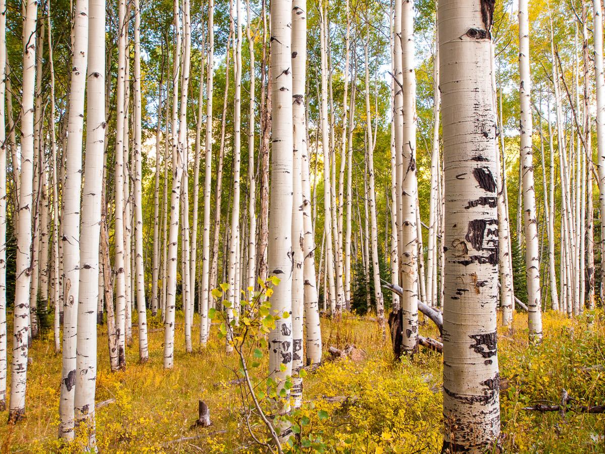 Birken in Colorado Rocky Mountains