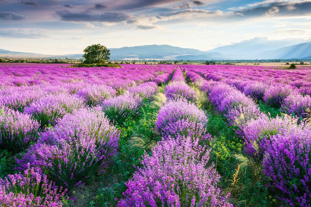 Lavende Garten