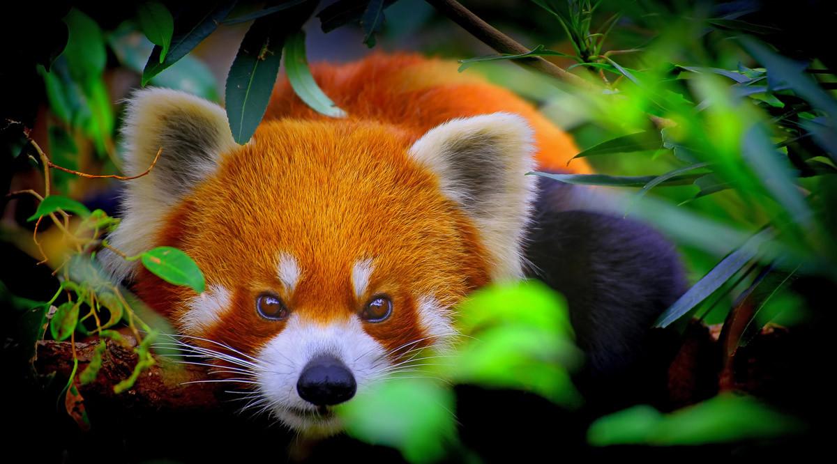 Rotes Panda-Porträt