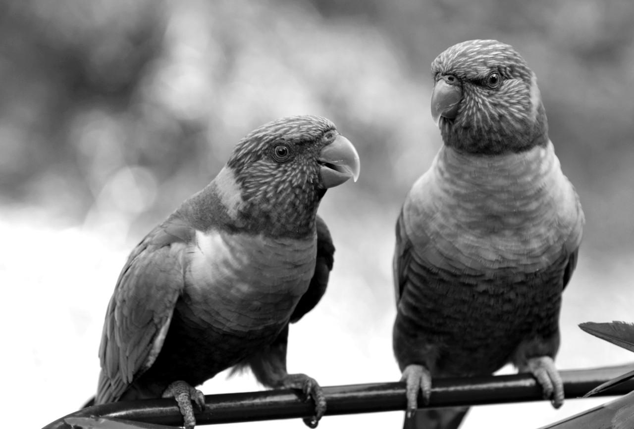Vögel Schwarz & Weiß