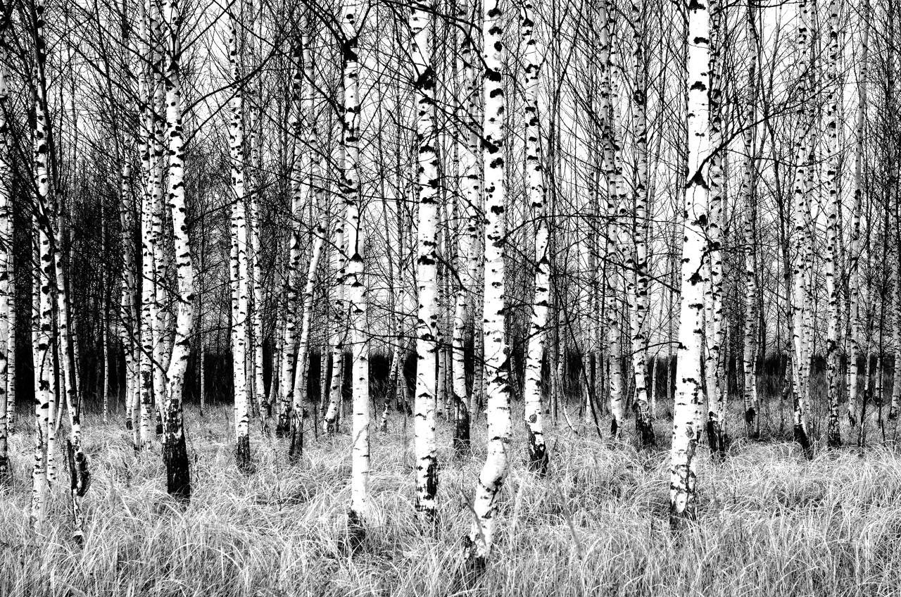 Birkenwald Schwarz & Weiß