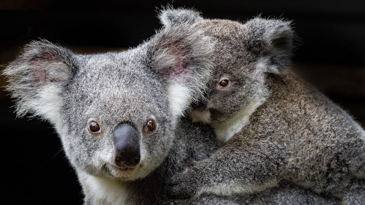Koala Mutter und Joey
